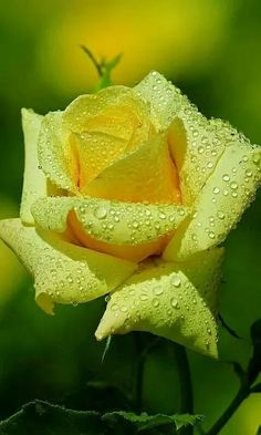In the Yellow Mist of Life, You Can see A Fainting Whisper of Rain dripping So suddenly Upon the Softened petals of A Lovely Flower!.
