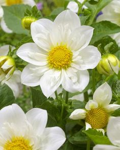 Dahlia 'Twyning's White Chocolate' tubers - Buy online at Farmer Gracy UK Flower Garden, White Dahlias, Dahlia, Plants, White Gardens, Dahlias Garden, Flowers, Sun Plants, Dahlia Flower