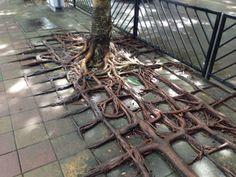 Tree:  fuck you, sidewalk.