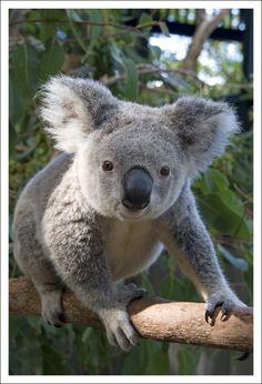 Koala who has places to go, other koalas to see!