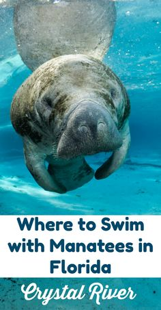 Swim with manatees in Florida's Citrus County. It's the only place in Florida where you can swim or snorkel with manatees in winter. Florida Travel, Travel Usa, Florida Usa, Destin Florida, Family Vacation Destinations, Family Vacations, Travel Destinations, Travel With Kids, Family Travel