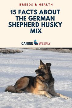 The Gerberian Shepsky is a wonderful and so adorable among pets today. This dog breed is of the thoughtful, intelligent and spunky canines. Read here to find out 15 of the most important things you will need to know about Siberian Husky German Shepherd #canineweekly #siberianhuskygermanshepherd