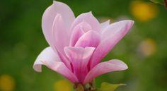 magnolia entre as flores mais bonitas do mundo - E poucas coisas são tão bonitas como uma árvore de magnólia em plena floração. Nomeada após Pierre Mangol, um popular botânico, Magnólia se orgulha de mais de 200 espécies. As flores magnólia vêm em rosa, roxo ou branco, e o tamanho pode ser qualquer entre 3 a 12 polegadas em diâmetro. Esta flor é um símbolo da beleza, doçura e feminilidade. O gênero de magnólia pode ser encontrado em West Indies, sudeste como também leste da Ásia, América…