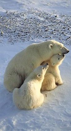 Animals And Pets, Baby Animals, Cute Animals, Baby Giraffes, Wild Animals, Beautiful Creatures, Animals Beautiful, Baby Polar Bears, Photo Animaliere