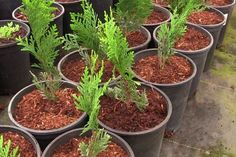 We're Going to Grow a Privacy Hedge of Thuja Green Giant Arborvitae! Garden Yard Ideas, Arborvitae, Plants, Ethical Gardening, Thuja Green Giant, Green Giant, Propagating Plants, Green Giant Arborvitae, Giant Arborvitae