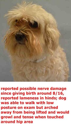 SUPER URGENT Manhattan Center CHICKY – A1100792 FEMALE, WHITE, MALTESE MIX, 4 yrs OWNER SUR – EVALUATE, NO HOLD Reason PET HEALTH Intake condition UNSPECIFIE Intake Date 12/31/2016 http://nycdogs.urgentpodr.org/chicky-a1100792/
