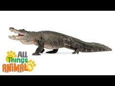 ALLIGATORS   All Things Animal I Animals for children. Kids videos. Kindergarten   Preschool learning - YouTube
