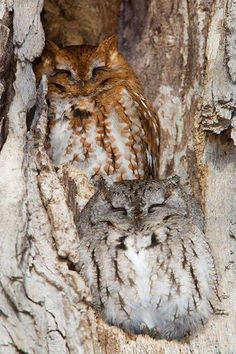 Owls - incredible camouflage