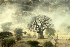 Baobab - Tarangire National Park