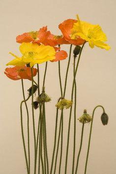 Poppies - coquelicots: