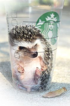 Hedgehog in Starbucks Hedgehog Cage, Pygmy Hedgehog, Baby Hedgehog, Hedgehog Cupcake, Baby Animals Pictures, Cute Animal Photos, Animals And Pets, Cute Pictures, Super Cute Animals