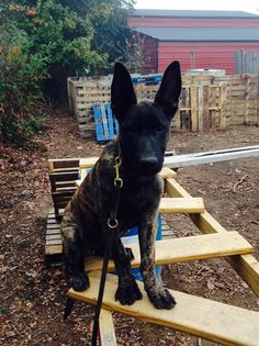 Dutch Shepherd puppy doing agility training.