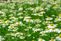 Chamomile seeds produce a thick, evergreen perennial herb plant that is very versatile and lovely. Roman Chamomile forms a 6 inch mat of sweetly scented, parsley-like, bright green foliage, and it pro