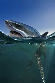 Great White Shark (?) coming up to take a look at what's going on off of Tiburón Island, northern Sea of Cortez, Mexico.