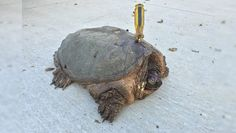 Someone Tried To Kill This Old Turtle, But She Refused To Give Up