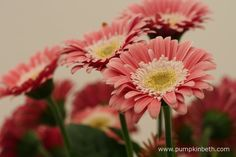 Gerbera GARVINEA SWEET MEMORIES ('Garmemories') (Garvinea Sweet Series). Gerbera GARVINEA SWEET MEMORIES is very floriferous, usually it will feature twenty, or more, open flowers at any given time.
