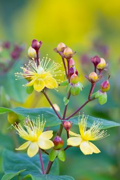 ~~Excellent Flair by Richard Loader ~ hypericum~~
