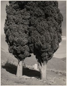 Poplars, Cemetery near Mount Diablo, California Ansel Easton Adams (American, San Francisco, California 1902–1984 Carmel, California