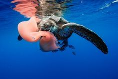 The leatherback turtle, feeding here on a pyrosome, has become increasingly rare in both the tropical Atlantic and Pacific. It declined by 95% between 1989 and 2002 in Las Baulas national park in Costa Rica, mainly caused by mortality at sea due to individuals being caught as bycatch and by development around nesting beaches. Similar trends have been observed throughout the species' range.