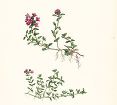 Creeping Wild Thyme - I really need to get some thyme on myself, after all - i named my home Sleepy Thyme Acres!