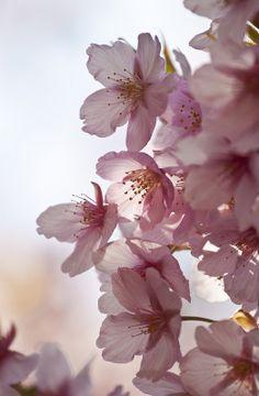 132 Best bunga sakura images  d7027aa20a