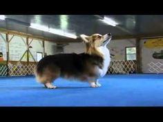 Dogs 101 Pembroke Welsh Corgi