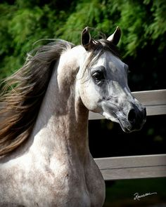 Magnyf Alcon Magnum Psyche × Foreign Affair BHF 2011 grey colt