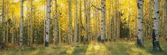 Aspen Trees in Coconino National Forest, Arizona, USA Lámina fotográfica
