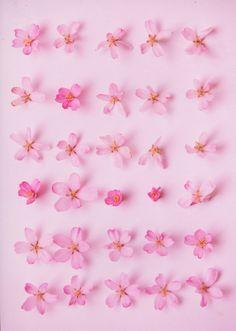 ~ Cherry blossoms ~