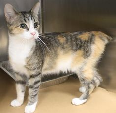 ADOPTED>Intake: 10/18 Available: Now  NAME: Pepper  ANIMAL ID: 33767927 BREED: Manx mix  SEX: Female  EST. AGE: 10 mos  Est Weight: 5 lbs Health:  Temperament: Friendly ADDITIONAL INFO: O/S  RESCUE PULL FEE: $35
