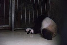 Zhizhi, una de las pandas gigantes que cuida el centro, permanece junto a su cría tras haberla amamantado en el interior de su recinto en el Centro de Conservación del Panda Gigante en Chengdu (China). Zhizhi dio a luz a dos bebés pandas el 24 de abril de 2017.