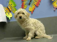 ID#A445229  I am described as a male, cream and white Terrier mix and Maltese.  The shelter thinks I am about 1 year and 1 month old.  I have been at the shelter since Jan 27, 2015 and I am available for adoption now!  If you think I am your missing pet, please call or visit right away. Otherwise, please visit me in person as shelter staff are busy caring for my needs.