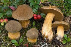 Velvet Bolete Mushroom (Suillus Variegatus) Mycelium Spawn Dried Seeds (10g)