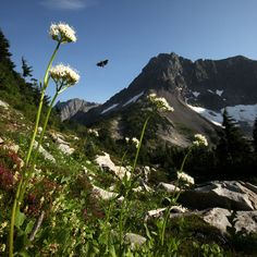 Sitka valerian blooms in heather meadows along the trail to Cascade Pass in North Cascades National Park. (Erika Schultz/The Seattle Times) Cascade National Park, North Cascades National Park, National Parks, Washington Nationals Park, North Cascades Highway, Seattle Times, Park Service, Hiking Trails, Nature Photos
