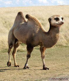 Meerkamel. | 28 Unsettling Animal Mashups That Should Probably Never Have Happened