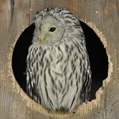 Young Ural Owl by Milan Vorisek on Flickr. Description from pinterest.com. I searched for this on bing.com/images