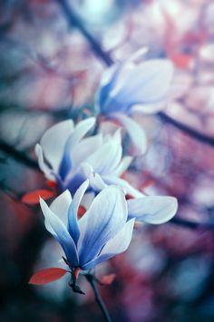 magnolia - null