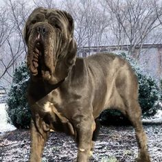 Neapolitan Mastiffs, Pitbulls, Dogs, Animals, Animales, Animaux, Doggies, Neopolitan Mastiff, Pit Bull