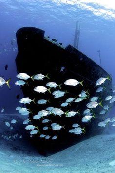 Schooling near a sunken ship