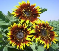 sunflower the joker Tall Flowers, Annual Flowers, Sunflower Seeds, Dahlia, Daisy, Sunflowers, Plants, Bouquets, Image