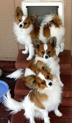 Papillons: a great first dog for families and agility sport lovers.  These little guys are smart.