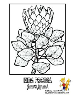 South Africa: King Protea Flower coloring book picture