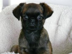Here is another smooth coated Brussels Griffon. They have a face you either fall madly in love with them or you don't. No in between ! I just love their faces!!!