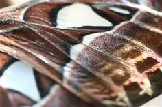Atlas Moth Wing @flickr