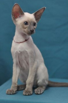 Siamese & Oriental Kittens 12 week old. More individual