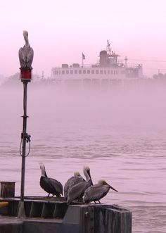 pelicans and a ferry boat on the Mississippi River,  New Orleans
