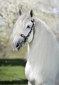 """This is my horse Bealfire, he is my newest horse and is a rare white Friesian."""