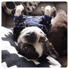 "182 Likes, 20 Comments - Yosi (@yosi6) on Instagram: ""love JILL* お日様が出てきた~ コタツから出てゴロンと日向ぼっこ #bostonterrier #bostagram #buhi #dogstagram #dogoftheday…"""