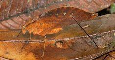 É um grilo ou é uma folha?