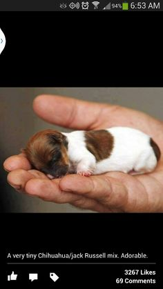 """Chihuahua/Jack Russell Mix! This is almost how small my """"Skeeter"""" was when I first got him!"""